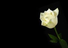 Белая роза на черной предпосылке Стоковые Фотографии RF