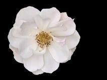 Белая роза на черноте Стоковая Фотография RF