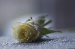 Белая роза на ярком блеске Стоковое Изображение RF