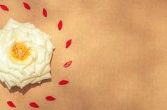 Белая роза окруженная красное выровнянным левым лепестков Стоковое Изображение RF