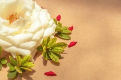 Белая роза окруженная красными выведенными лепестками и листьями зеленого цвета, выровнянный Стоковое Изображение RF