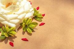 Белая роза окруженная красными выведенными лепестками и листьями зеленого цвета, выровнянный Стоковое Изображение