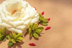 Белая роза окруженная красными выведенными лепестками и листьями зеленого цвета, выровнянный Стоковые Фото
