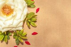 Белая роза окруженная красными выведенными лепестками и листьями зеленого цвета, выровнянный Стоковая Фотография