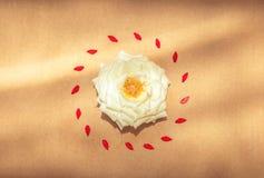 Белая роза окруженная красными лепестками в центре Стоковое Изображение RF