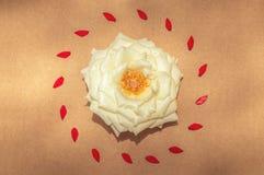 Белая роза окруженная красными лепестками в центре Стоковые Изображения RF