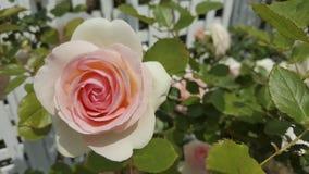 Белая роза пинка на снаружи Стоковое Изображение