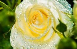Белая роза после дождя Стоковые Фотографии RF