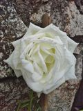 Белая роза стеной Стоковые Фото