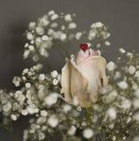 Белая роза с красным сердцем Стоковая Фотография
