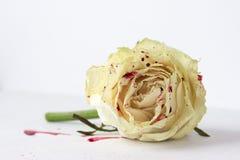 Белая роза с кровью на белой предпосылке стоковые фотографии rf