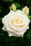 Белая роза с падениями Стоковые Изображения RF