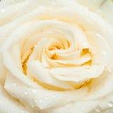 Белая роза с падениями Стоковая Фотография
