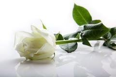 Белая роза Стоковые Фото