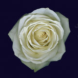 Белая роза Стоковое фото RF