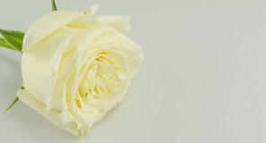 Белая роза Стоковые Изображения RF