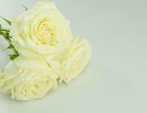 Белая роза Стоковое Изображение RF