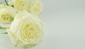 Белая роза Стоковая Фотография
