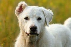 Белая румынская собака чабана Стоковая Фотография RF
