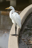 Белая рыбная ловля цапли Стоковые Изображения RF