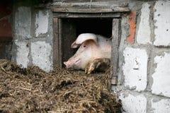 Белая свинья Смотрит вне окно Куча позема Стоковая Фотография