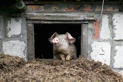 Белая свинья Смотрит вне окно Куча позема Стоковая Фотография RF