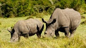 Белая семья носорога Стоковое Изображение RF