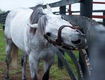 Белая скаковая лошадь стоковое изображение
