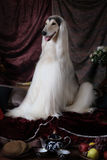 Белая собака афганской борзой внутри помещения Стоковые Изображения