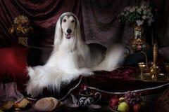 Белая собака афганской борзой племенника Стоковые Фото