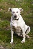 Белая собака внешняя стоковая фотография