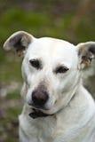 Белая собака внешняя стоковая фотография rf