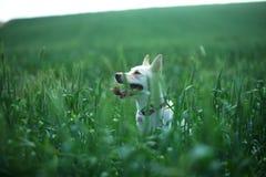 Белая собака в пшеничном поле Стоковые Изображения RF