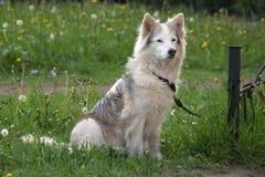 Белая собака меха ждать предпринимателя на лужайке зеленой травы Стоковое Фото