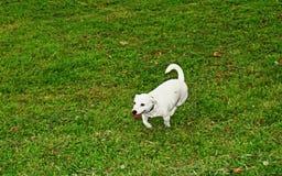 Белая собака на зеленом цвете Стоковое Изображение