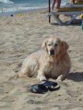 Белая собака на песочном береге рядом с мастерскими темповыми сальто сальто ` s стоковое изображение rf