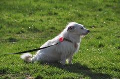 Белая собака на поводке на траве Стоковые Изображения