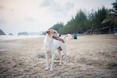 Белая собака на пляже Стоковые Фотографии RF