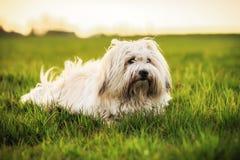 Белая собака на луге Стоковые Изображения RF