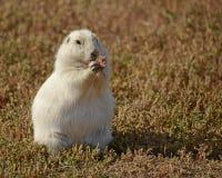 Белая собака прерии Стоковые Фотографии RF