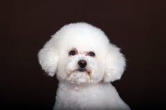 Белая собака пуделя Стоковые Изображения
