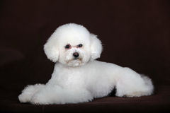 Белая собака пуделя Стоковая Фотография