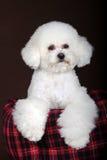 Белая собака пуделя Стоковое Изображение RF