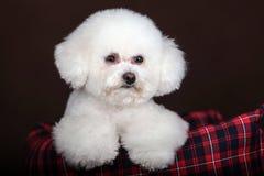 Белая собака пуделя Стоковые Изображения RF