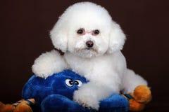 Белая собака пуделя Стоковые Фотографии RF