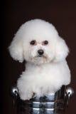 Белая собака пуделя Стоковая Фотография RF