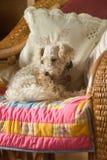 Белая собака пуделя Стоковое Фото