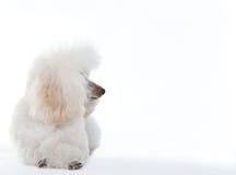 Белая собака пуделя Стоковое Изображение