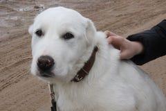 Белая собака Стоковая Фотография RF