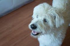 Белая собака Стоковая Фотография